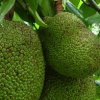 Fruit of the Month – Jack Fruit